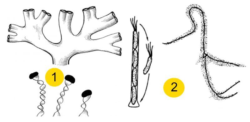 залізобактерії